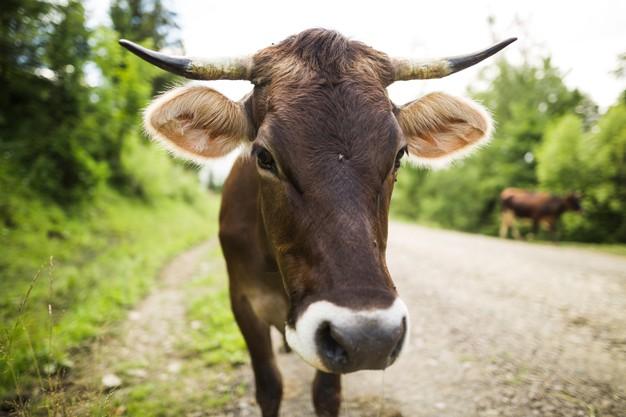Σαράντα αγελάδες το 'σκασαν και περιφέρονταν ανέμελες στο Λος Άντζελες