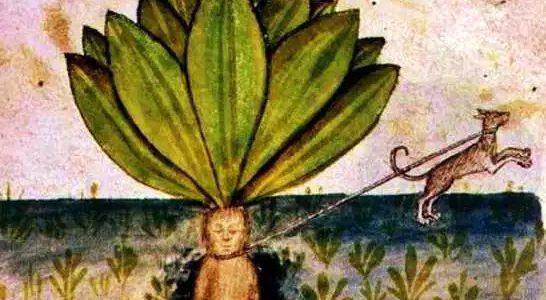 Μανδραγόρας: Το φυτό των θρύλων και των θαυμάτων